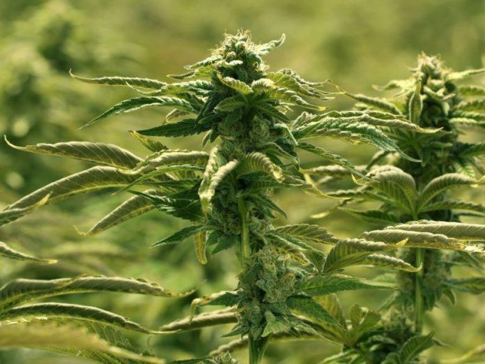 Aurora Cannabis News