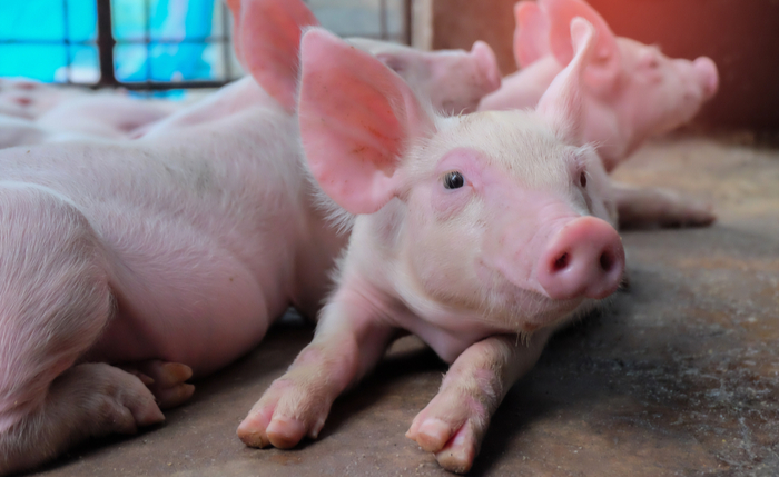 Outbreak Of African Swine Fever Showing No Signs Of
