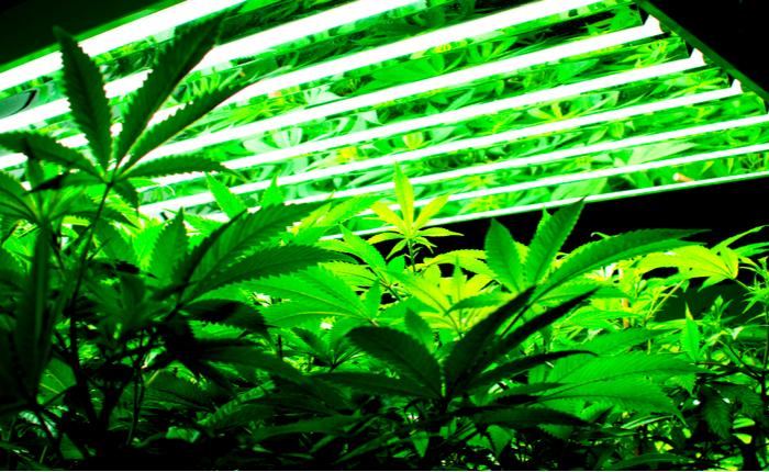 Marijuana growers new ipo