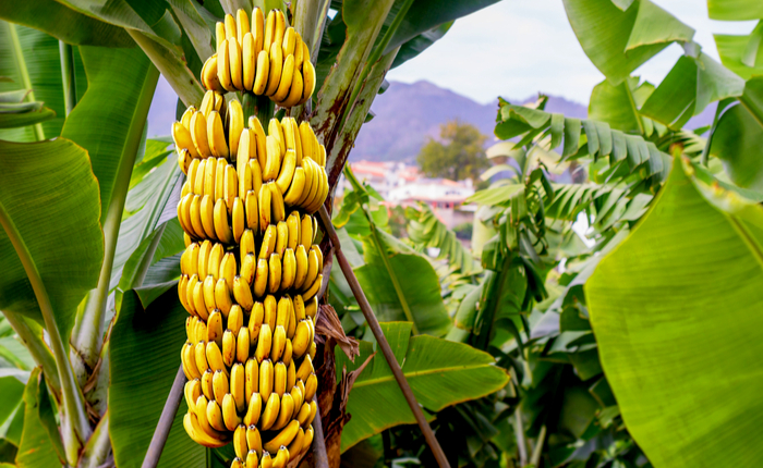 Deadly Banana Fungus Arrives In Latin America Declared A